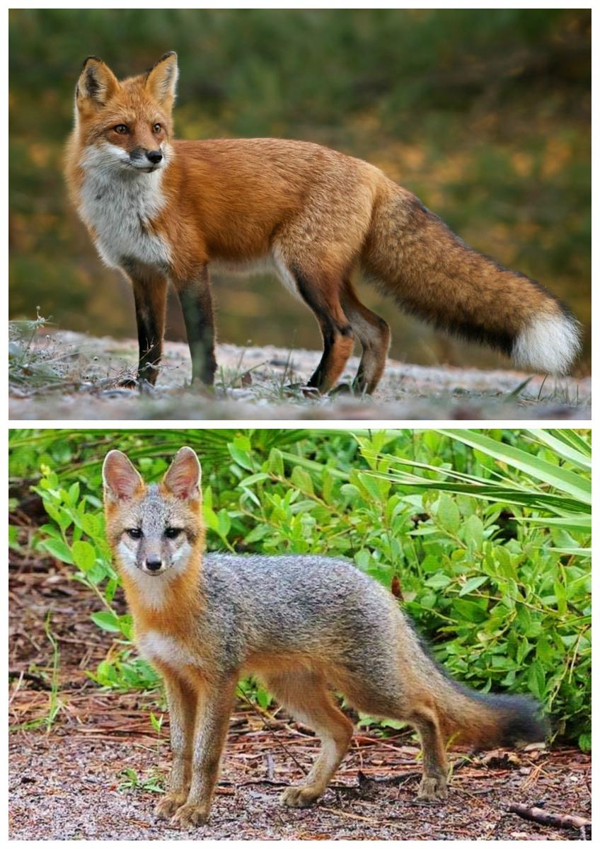 Appalachian Red and Gray Fox Species