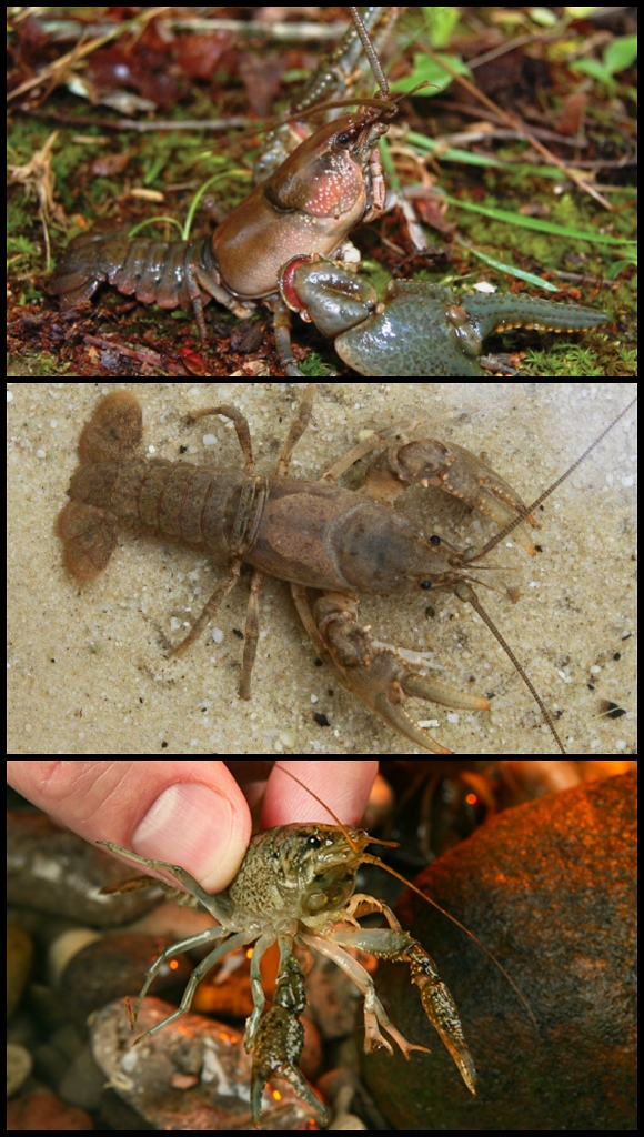 Crayfish species
