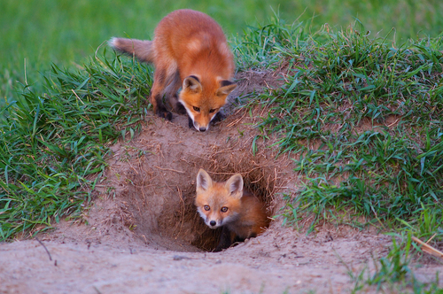 Appalachian red fox kits in den