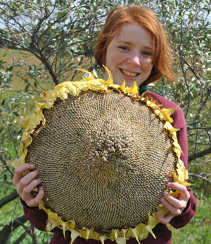 Mammoth Russian sunflower