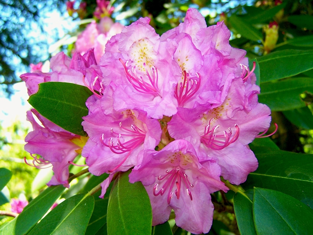 Chasing The Rhododendron Blooms Simply Appalachian