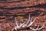 Find deer sheds in the Appalachian woods